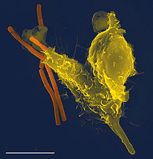 Micrograph obtained by scanning electron microscopy of a neutrophil engulfing a producer of the anthrax bacteria, Bacillus anthracis (orange). Bacillary shows the half-digested in the phagocyte to the left (in yellow).